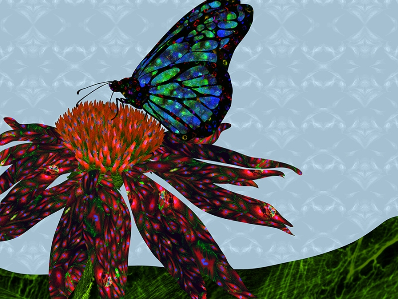 ButterflyandtheConeflower_20130523