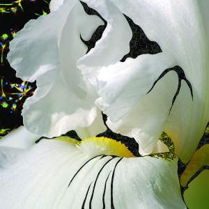 Iris - 20140917